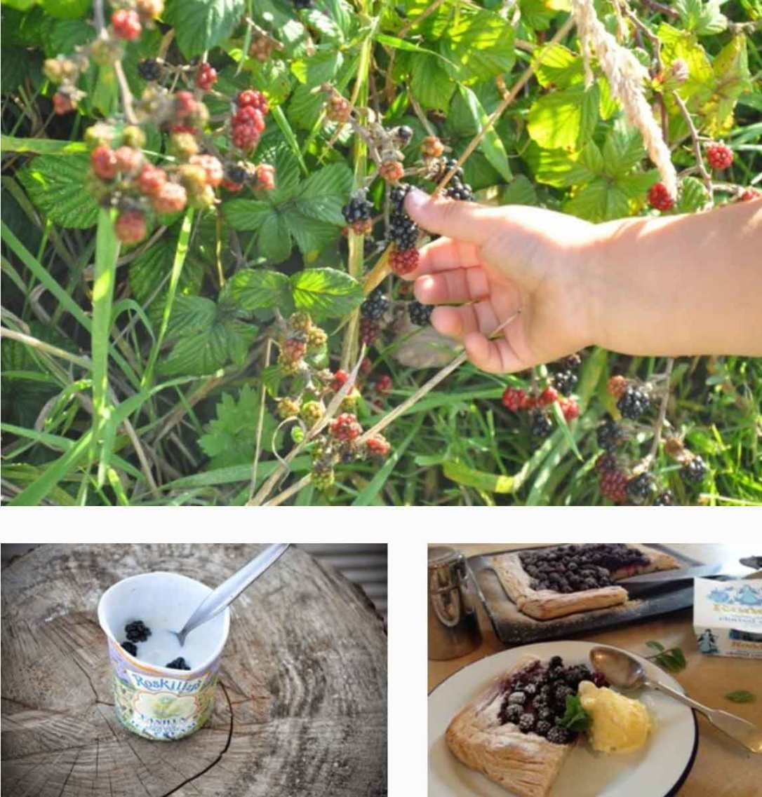 picking blackberries, making a berry tart with roddas clotted cream and roskillys ice cream at barefoot glamping Cornwall