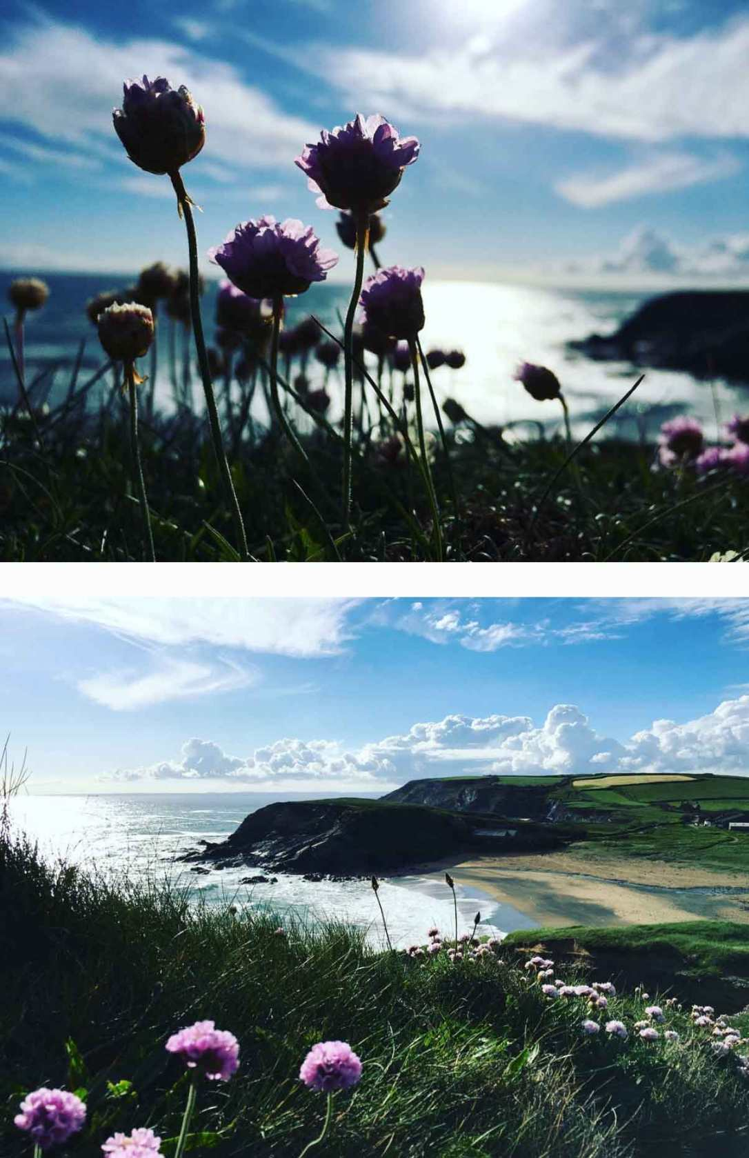 sea thrift in bloom on the south west coast path above church cove beach Cornwall