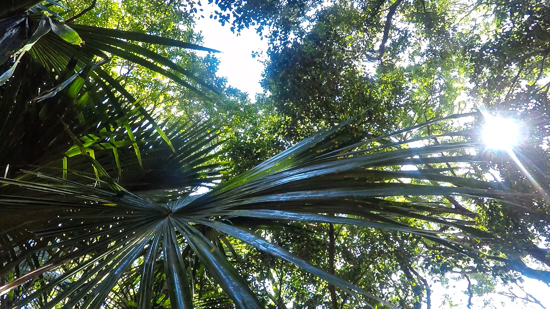 These are Cabbage Tree palms