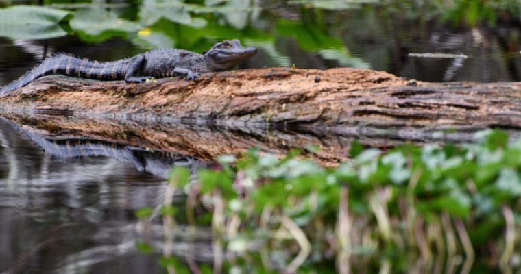 Canoeing Hillsborough River, Thonotosassa, Florida