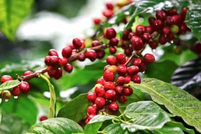 typica_coffee_arabica_laurina_reunion_island_laurina