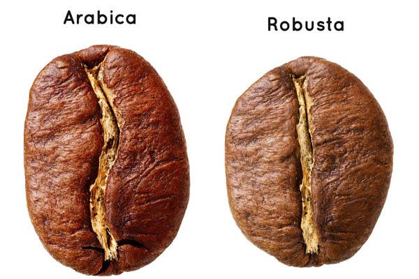 Hình dạng hạt arabica vs robusta