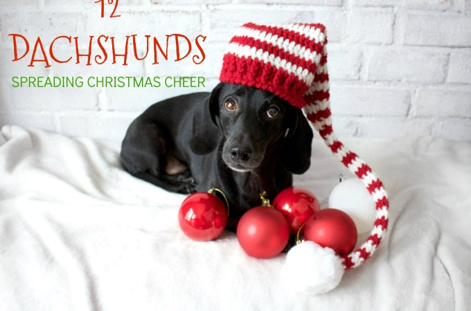 12 Dachshunds Spreading Christmas Cheer