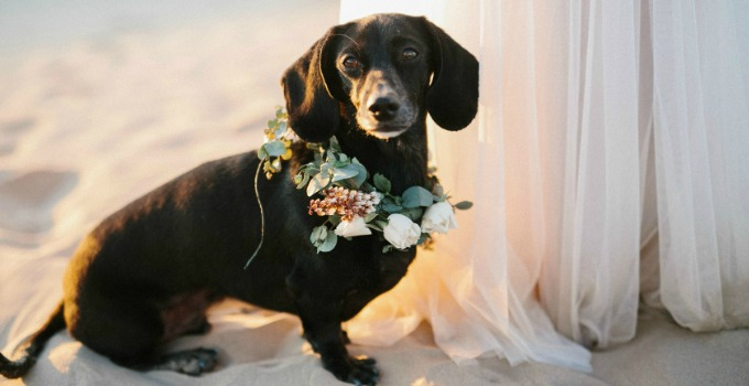 dachshund at wedding