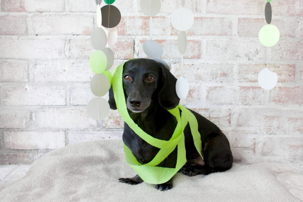 dachshund with green streamers