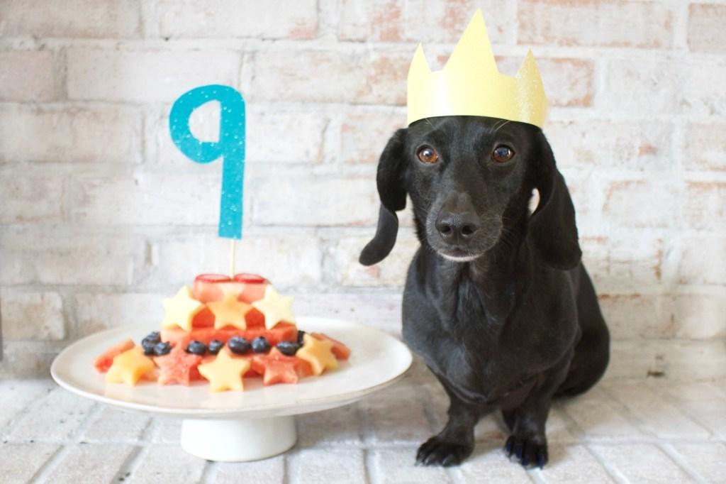 Dachshund with Birthday cake