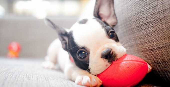 New Puppy Guide – What To Do BEFORE You Bring Puppy Home