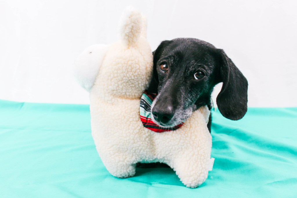 dachshund with zippypaws toy