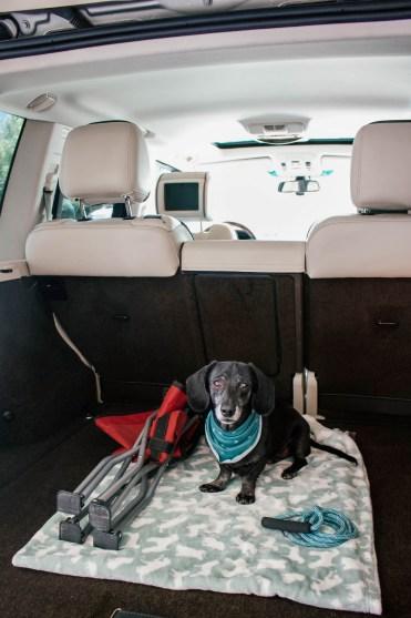 dachshund in back of car