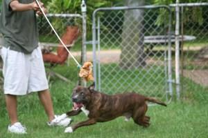 Dog playing with Flirt Pole
