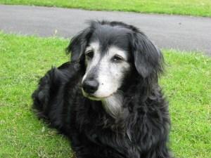 arthriticdog1