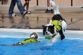 border collie swim