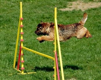 border terrier agility