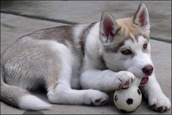 husky chew toy