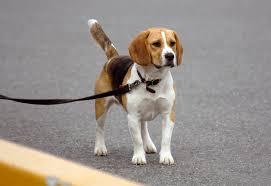 Beagle walking
