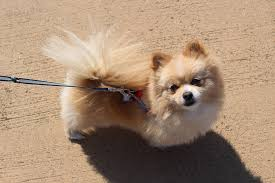 pomeranian walking
