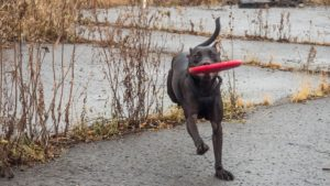 whippet frisbee