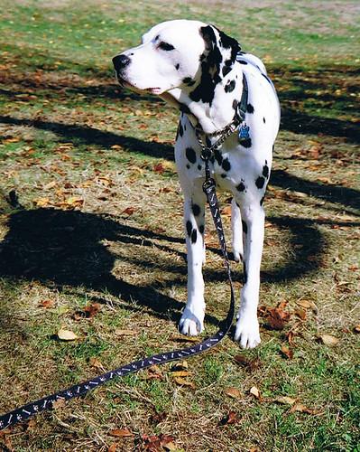 Dalmatian walking