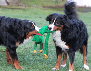 Two dogs playing tug of war with a dog toy