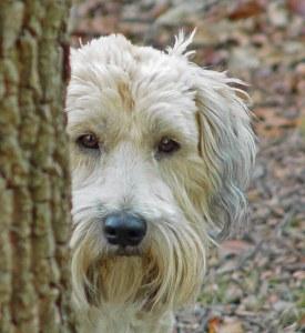 Wheaten Terrier hiding behind a tree