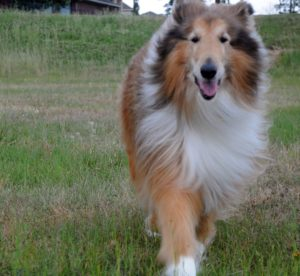 Rough Collie Exercise