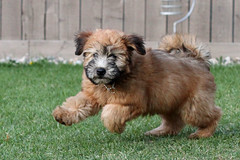 Wheaten Terrier puppy exercise