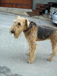 Airedale Terrier on a leash