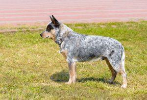 Blue Heeler (Australian Cattle Dog) standing in the grass