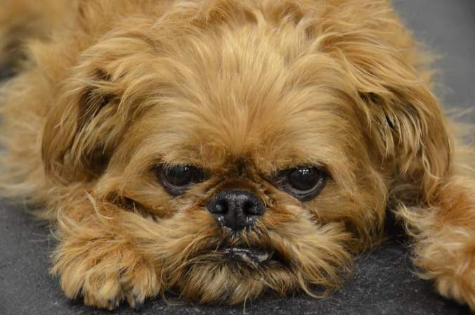 Grumpy close up photo of a brown Brussels Griffon