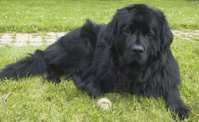 Black Newfoundland dog waiting to play catch with an old baseball