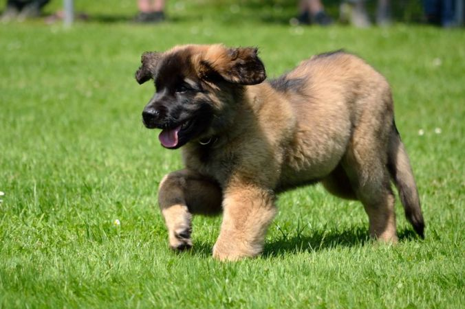 Leonberger puppy exercise