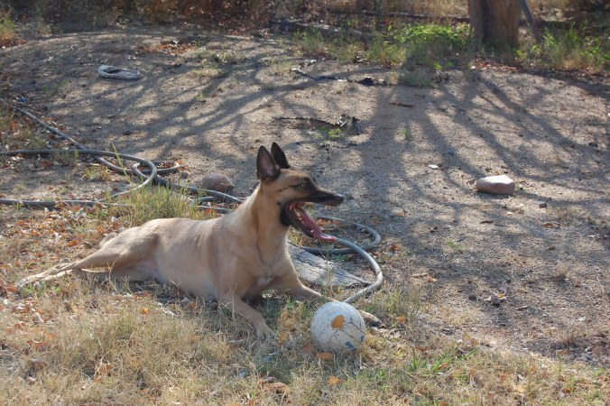 Belgian Shepherd playing with an old volleyball