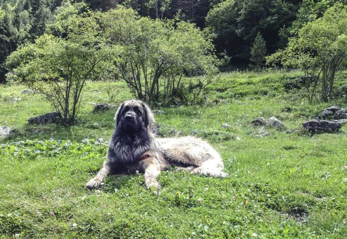 Leonberger sitting calmly in a grassy field