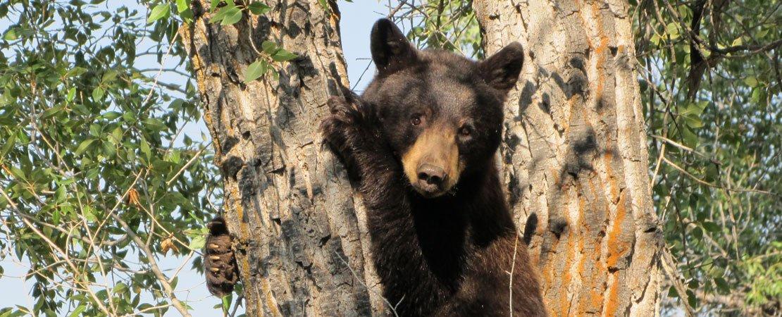 Black bear climbing tree - photo taken on a Barker Ewing Grand Teton Scenic Float Trip