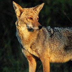 Coyote - Wildlife of Jackson Hole and Grand Teton