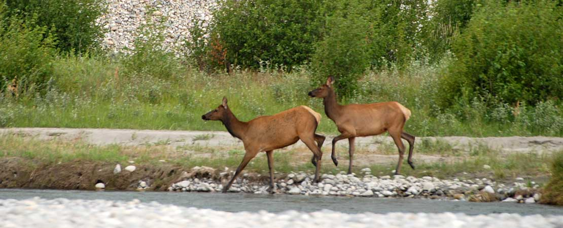 Two cow elk crossing the Snake River - photo taken on a Barker Ewing Grand Teton Scenic Float Trip, photo courtesy of Mike Swinehart