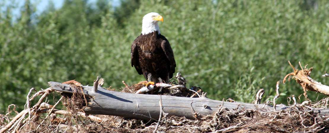 Bald eagle sitting on downed tree - Wildlife in Jackson Hole & Grand Teton Ntl Park