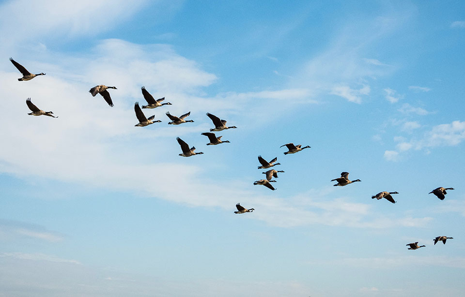 Migrating geese - grand teton float trips