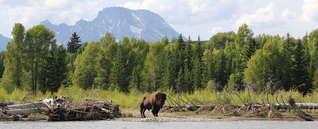 Bison in front of Mt Moran, Barker-Ewing Scenic Float Trip