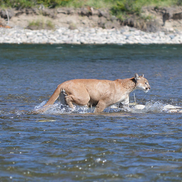 Cougar seen on Barker Ewing Scenic Snake River Float Trip, Photo credit: © Christine Chance