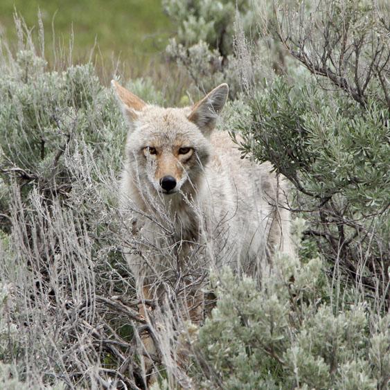 coyote in sagebrush