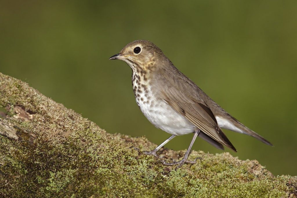 thrush perched on a branch - jackson hole wildlife