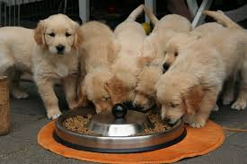 Bunch of puppies eating out of one tray