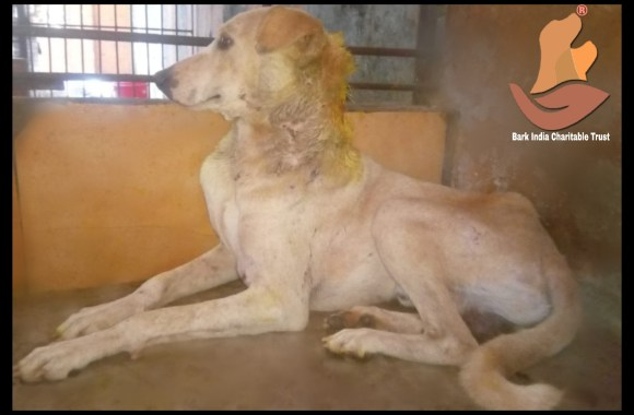 Maggot wound dog rescued- stray dog rescue