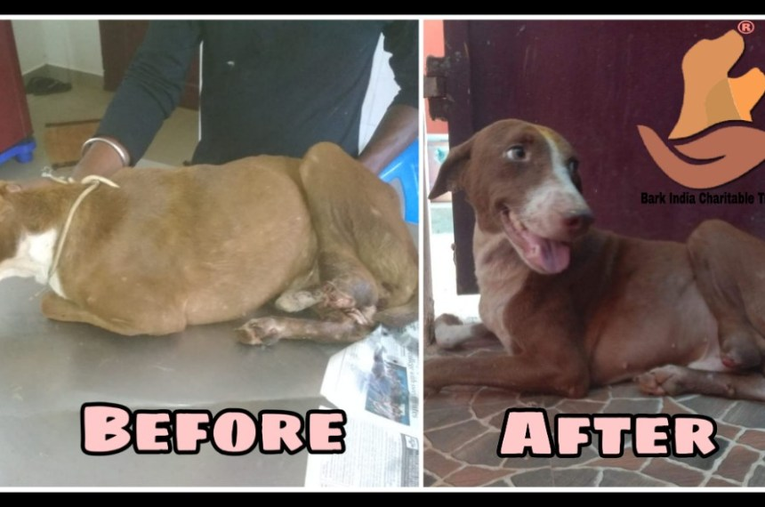 Leg Chopped Off Dog Seeks his Forever Home after Treatment