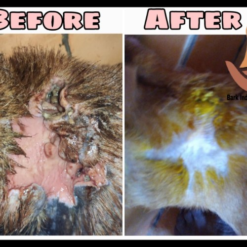 Maggot wound dog- Before and After treatment
