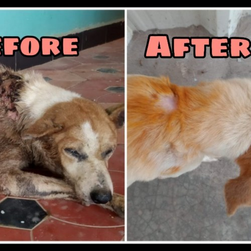 Rescued maggot wound dog- before and after treatment