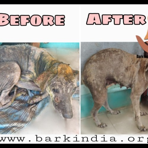 Wounded street dog transformation- Before and after treatment at Bark India