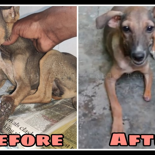 Leg decayed Puppy recovery- Free veterinary treatment for strays