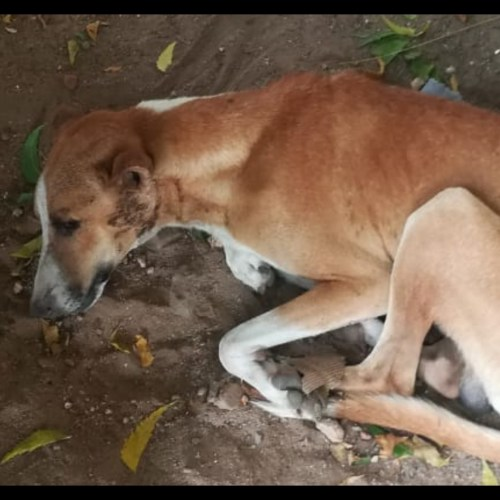 Stray dog met with accident rescued- Dog rescue in Pondicherry